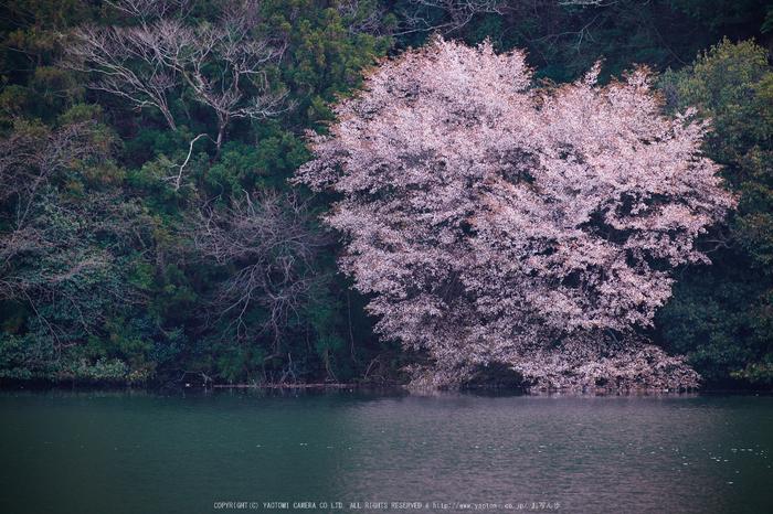 室生湖・新緑,桜(DSCF5164,F6.4,172.4)2014yaotomi_.jpg