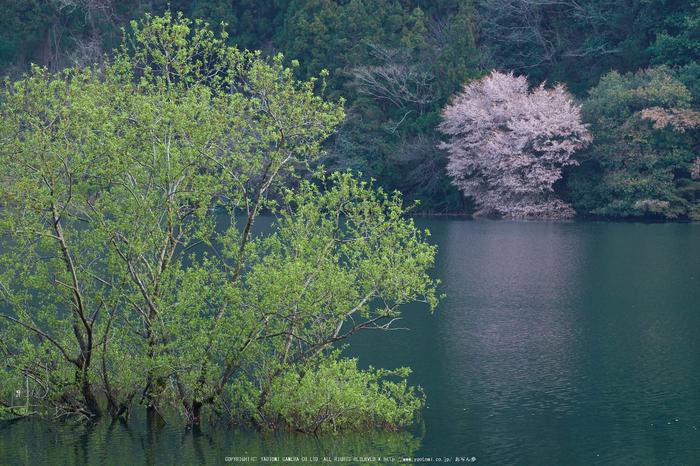 室生湖・新緑,桜(DSCF5169,F9,86mm)2014yaotomi_.jpg