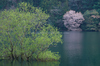 室生湖・新緑,桜(DSCF5169,F9,86mm,FULL)2014yaotomi_.jpg