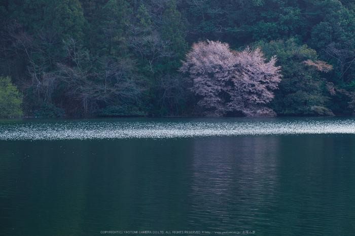 室生湖・桜(DSCF5182,F8,110.3mm)2014yaotomi_.jpg