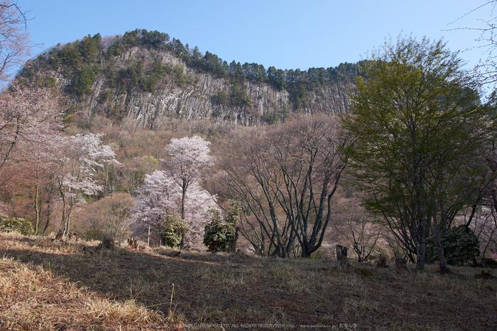 屏風岩公苑・桜(DSCF5244,F8,18mm)2014yaotomi_.jpg