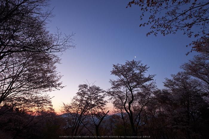 屏風岩公苑・桜(DSCF5458,F9,10mm,iso200)2014yaotomi_.jpg