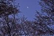 屏風岩公苑・桜(DSCF5463,F9,55mm,iso200)2014yaotomi_.jpg