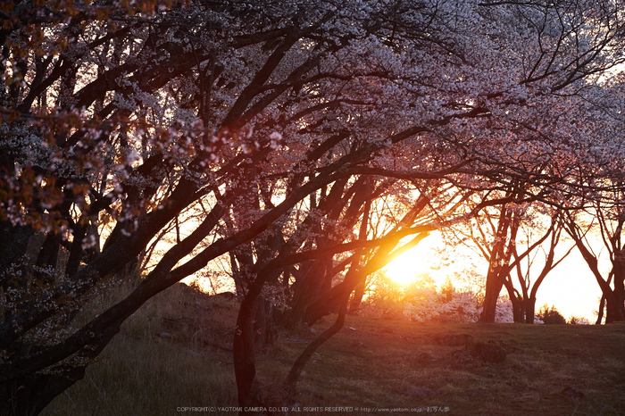 屏風岩公苑・桜(DSCF5507,F5,95mm,iso200)2014yaotomi_.jpg