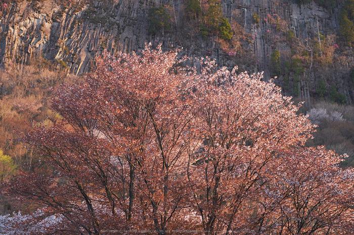 屏風岩公苑・桜(DSCF5522,F5.6,56mm,iso200)2014yaotomi_.jpg
