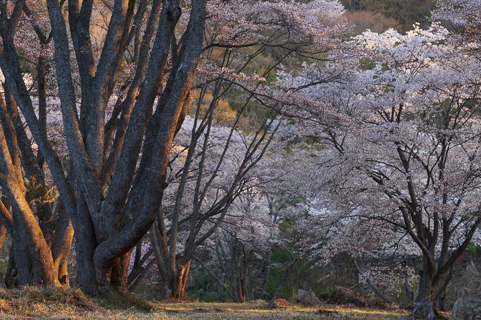 屏風岩公苑・桜(DSCF5528,F6.4,56mm,iso200)2014yaotomi_.jpg