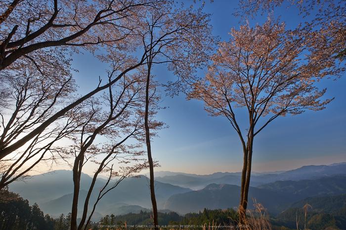 屏風岩公苑・桜(DSCF5559,F10,10mm,iso200)2014yaotomi_.jpg