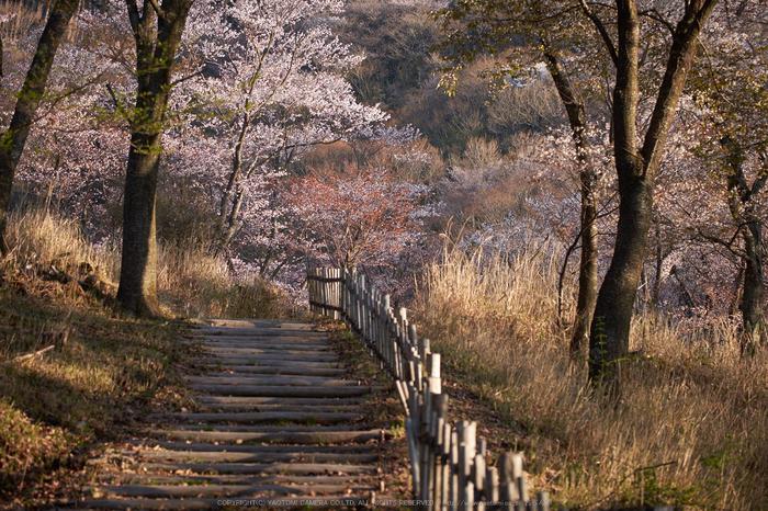 屏風岩公苑・桜(DSCF5580,F3.5,57.8mm,iso200)2014yaotomi_.jpg