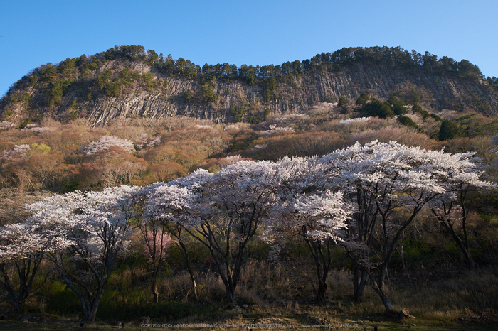 屏風岩公苑・桜(DSCF5600,F7.1,14.5mm,iso200)2014yaotomi_.jpg