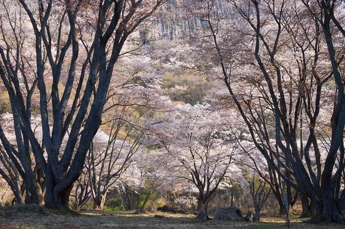屏風岩公苑・桜(DSCF5624,F8,27.7mm,iso200)2014yaotomi_.jpg