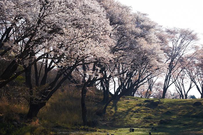 屏風岩公苑・桜(DSCF5648,F10,60.7mm,iso200)2014yaotomi_.jpg