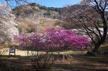 屏風岩公苑・桜(DSCF5658,F9,12mm,iso200)2014yaotomi_.jpg