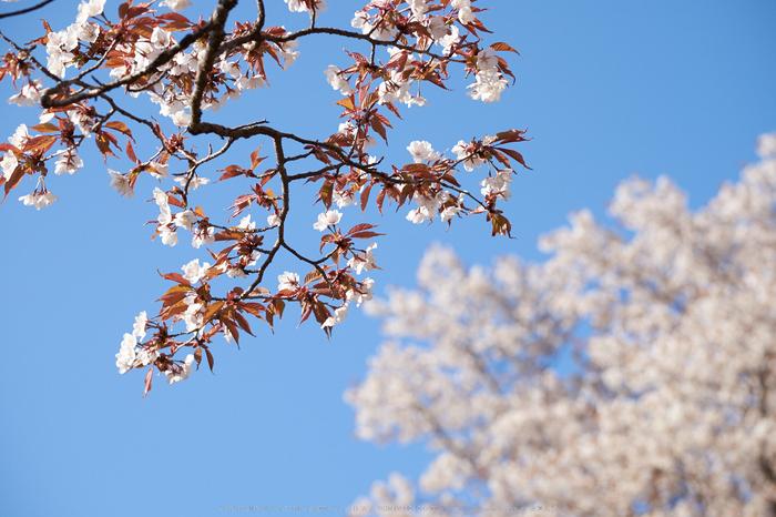 屏風岩公苑・桜(DSCF5677,F6.4,81.9mm,iso200)2014yaotomi_.jpg