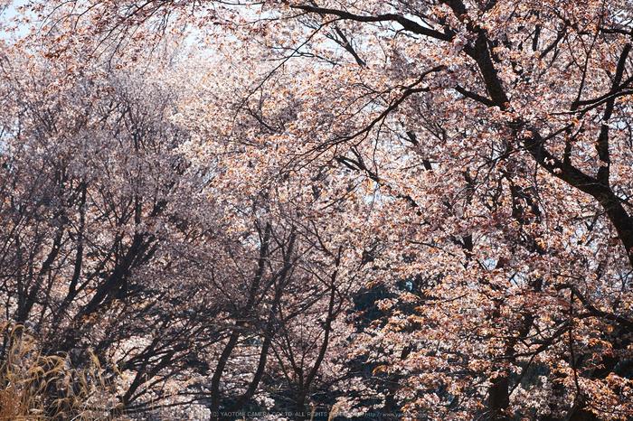 屏風岩公苑・桜(DSCF5679,F6.4,121.8mm,iso200)2014yaotomi_.jpg