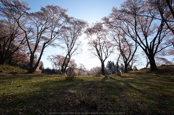 屏風岩公苑・桜(DSCF5687,F11,10mm,iso200)2014yaotomi_.jpg