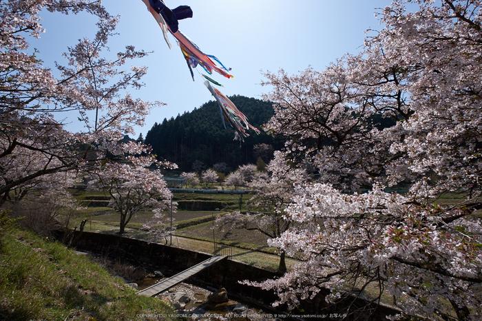 岩端・桜(DSCF5278,F9,10mm)2014yaotomi_.jpg