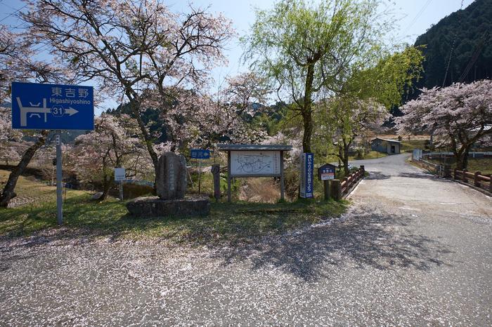 岩端・桜(DSCF5283,F8,10mm)2014yaotomi_.jpg