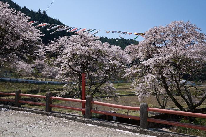 岩端・桜(DSCF5286,F8,18.2mm)2014yaotomi_.jpg