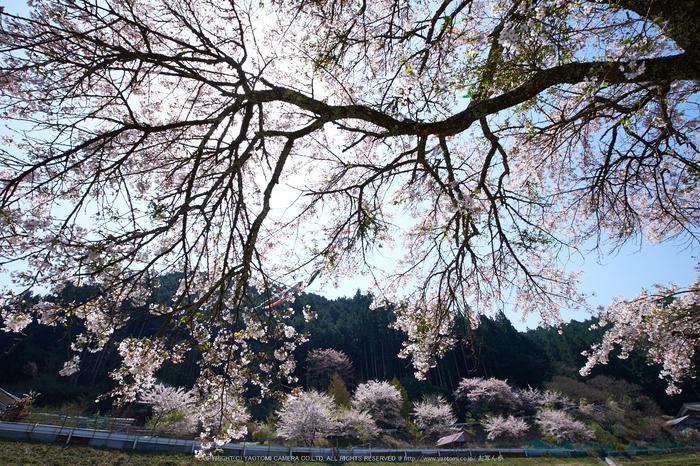岩端・桜(DSCF5297,F8,11.5mm)2014yaotomi_.jpg