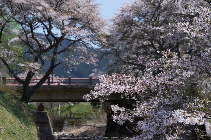 岩端・桜(DSCF5305,F3.2,56mm)2014yaotomi_.jpg