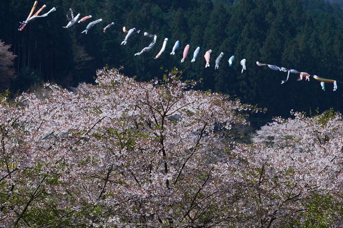 岩端・桜(DSCF5342,F9,104.9mm)2014yaotomi_.jpg