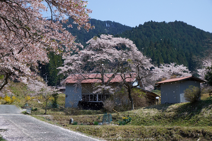岩端・桜(DSCF5360,F10,44.4mm)2014yaotomi_.jpg