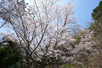 月うさぎ・桜(DSCF5380,F10,10mm)2014yaotomi_.jpg