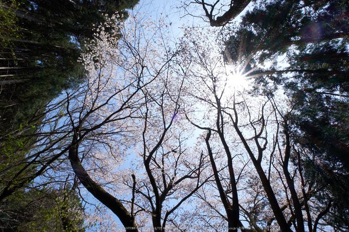月うさぎ・桜(DSCF5394,F20,10mm)2014yaotomi_.jpg