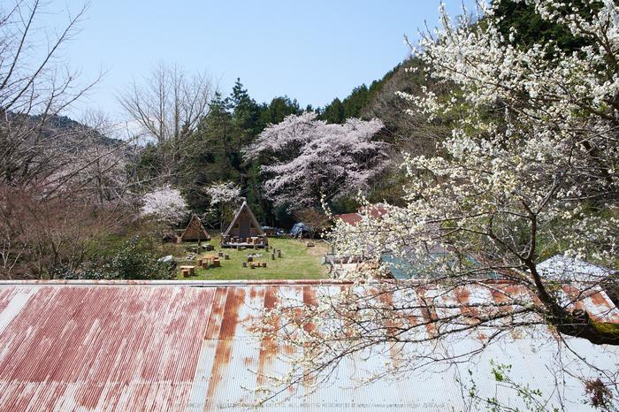月うさぎ・桜(DSCF5402,F9,18mm)2014yaotomi_.jpg