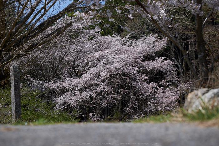 月うさぎ・桜(DSCF5411,F5,70.5mm)2014yaotomi_.jpg