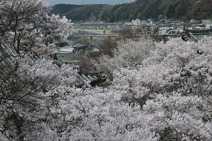 本善寺,桜(PK3_8602,F10,70mm)2014yaotomi_.jpg