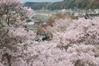 本善寺・桜(PK3_8602,F10,70mm,FULL)2014yaotomi_.jpg