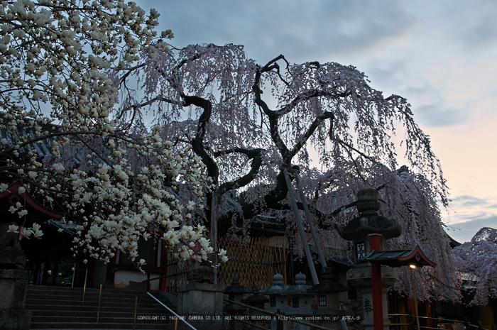 氷室神社,桜(PK3_7903,F8,23mm)2014yaotomi_.jpg