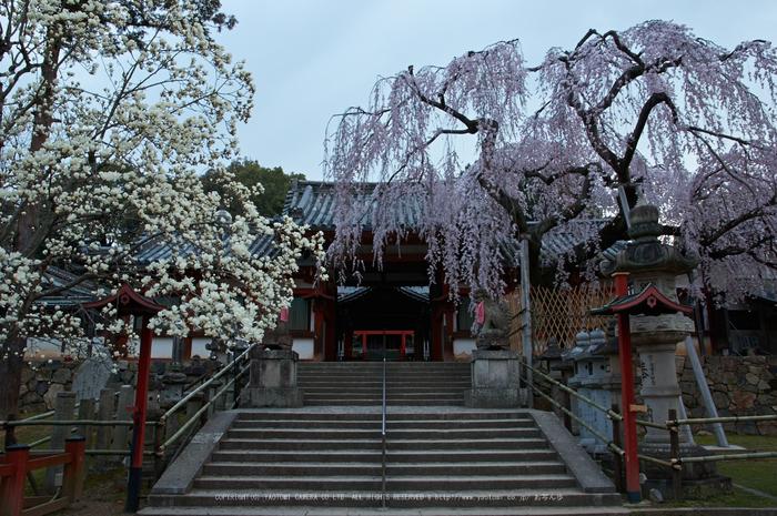 氷室神社,桜(PK3_7920,F8,19mm)2014yaotomi_.jpg