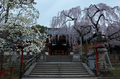 氷室神社,桜(PK3_7920,F8,19mm,FULL)2014yaotomi_.jpg