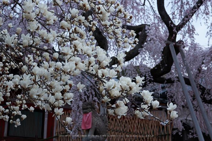 氷室神社,桜(PK3_7925,F7.1,48mm)2014yaotomi_.jpg