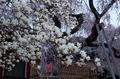 氷室神社,桜(PK3_7925,F7.1,48mm,FULL)2014yaotomi_.jpg