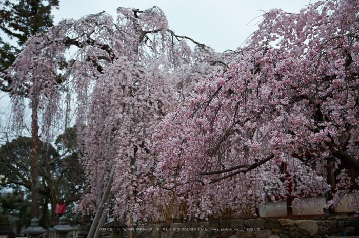 氷室神社,桜(PK3_7941,F3.5,34mm)2014yaotomi_.jpg
