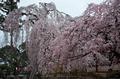 氷室神社,桜(PK3_7941,F3.5,34mm,FULL)2014yaotomi_.jpg