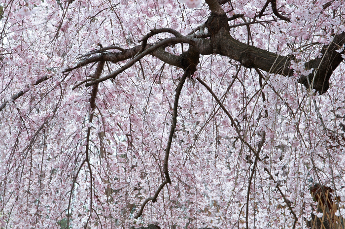 氷室神社,桜(PK3_7946,F10,70mm)2014yaotomi_.jpg