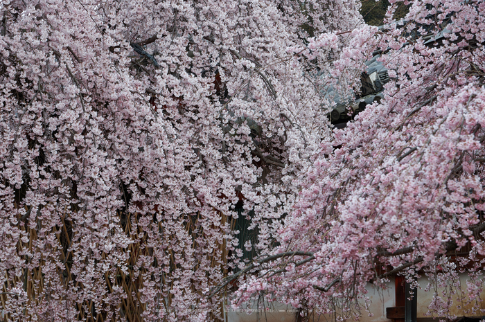 氷室神社,桜(PK3_7953,F5.6,70mm,FULL)2014yaotomi_ (1) .jpg