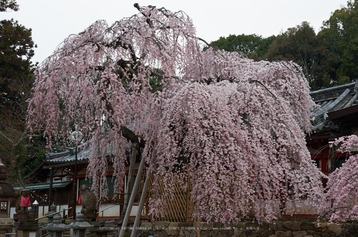 氷室神社,桜(PK3_7959,F8,48mm)2014yaotomi_.jpg