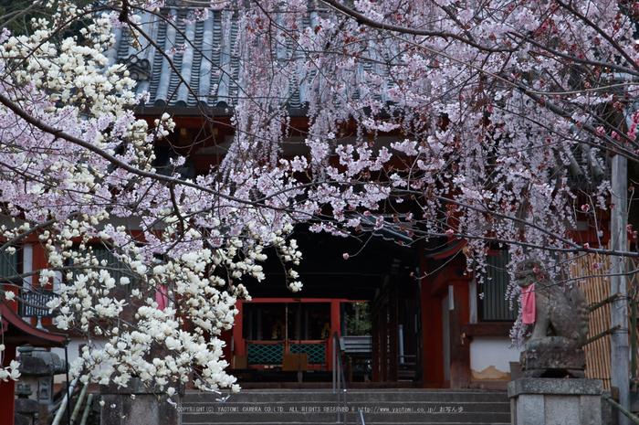 氷室神社,桜(PK3_7968,F10,70mm)2014yaotomi_.jpg