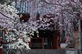氷室神社,桜(PK3_7968,F10,70mm,FULL)2014yaotomi_.jpg