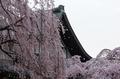 氷室神社,桜(PK3_7978,F8,70mm,FULL)2014yaotomi_.jpg