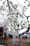 氷室神社,桜(PK3_7992,F2.2,30mm,FULL)2014yaotomi_.jpg