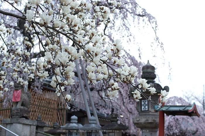 氷室神社,桜(PK3_7995,F2.2,30mm)2014yaotomi_.jpg