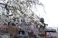 氷室神社,桜(PK3_7995,F2.2,30mm,FULL)2014yaotomi_.jpg