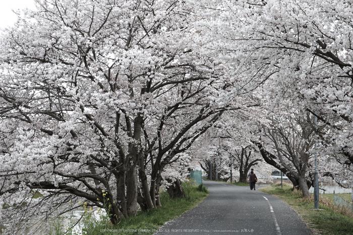 箸尾,桜(PK3_8683,F8,70mm)2014yaotomi_.jpg