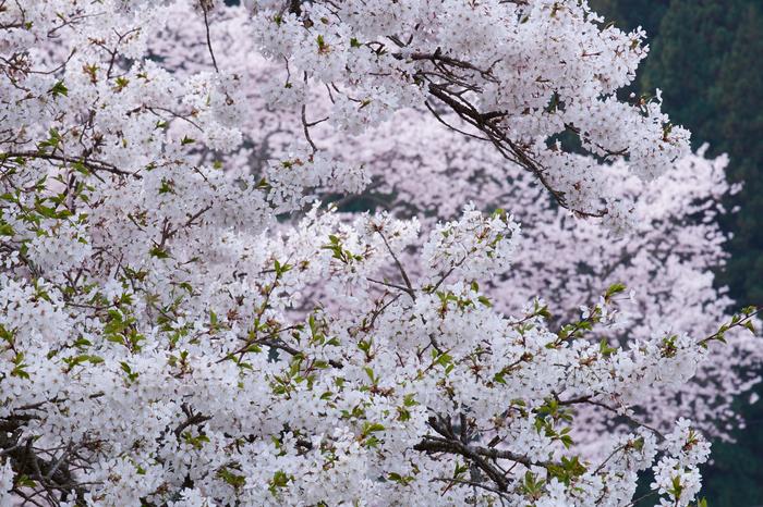 諸木野・桜(DSCF0723,F14,164mm)2014yaotomi_.jpg